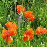Poppies at Bonnybank