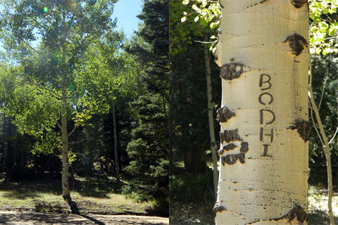 Bodhi tree, New Mexico