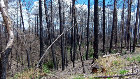 Burnt pine trees in Bastrop State Park