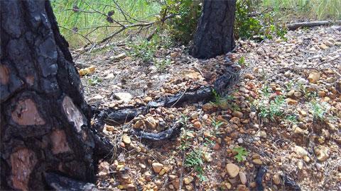 Charred tree roots
