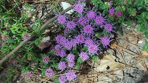 Purple wildflowers, Texas