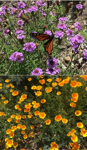 California Gardenscapes - Butterfly on Verbena and the California State Flower, California Poppy