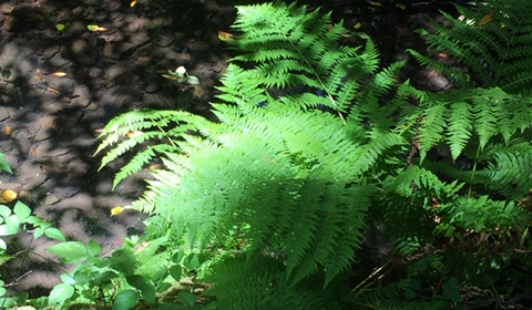 Muir Woods is host to 13 species of ferns from six different fern families.