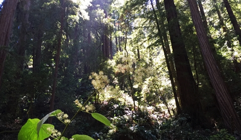 The redwoods dominate the scene.