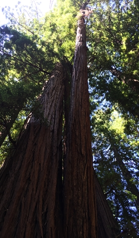 Redwoods in Muir Woods are still young, as they can live up to 2200 years.