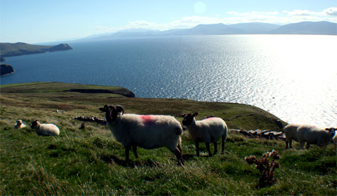 Sheep on Irish headland