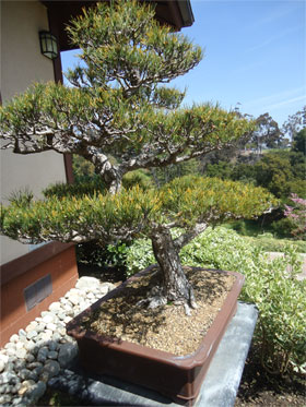 Japanese Friendship Garden - bonsai