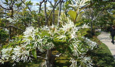Japanese Friendship Garden - flowering tree