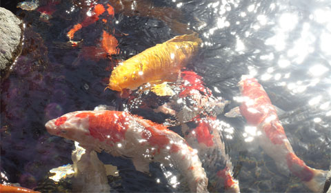 Japanese Friendship Garden - koi