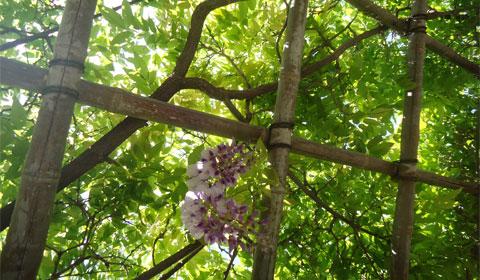 Japanese Friendship Garden - wisteria