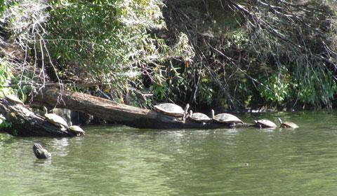 Turtles sunning on a log, Lake Lure, North Carolina
