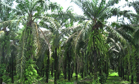Palm orchard