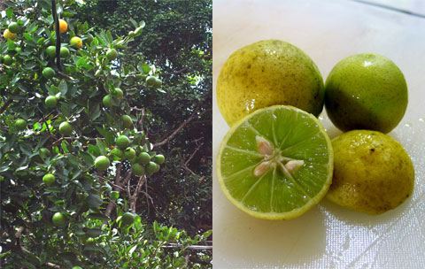 Lime tree and