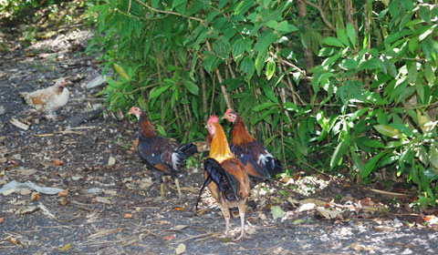 Wild chickens on Maui