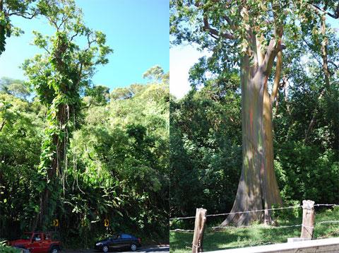 Vines on trees and Rainbow Eucalyptus, Maui