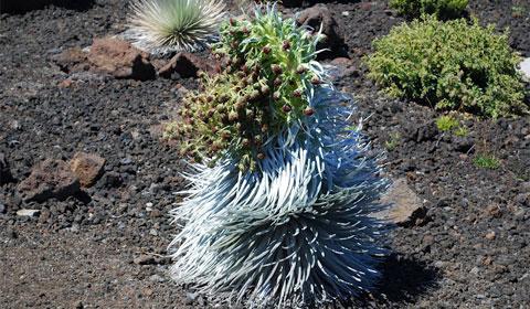 Volcanic plant life, Maui