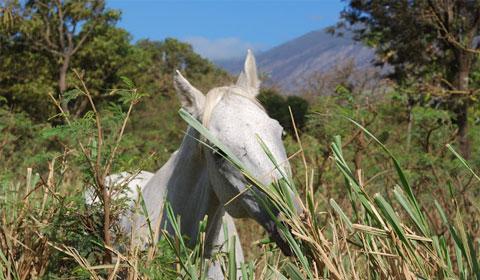 Free range horse, Maui