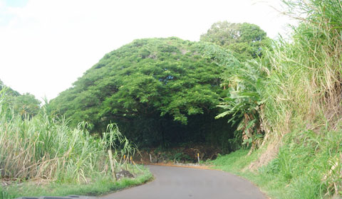 Umbrella-like tree, Maui