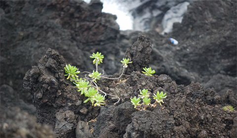 Even lava rock is fertile on Maui