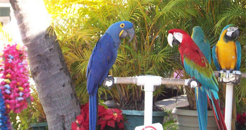Parrots in Lahaina