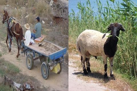 Mediterranean-Colors-horse-cart-sheep-tile