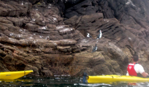 Mercury Bay blue penguins