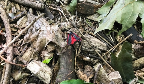 I wouldn't have noticed this moth if it wasn't red