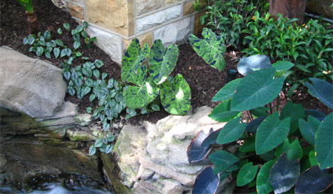 Elephant ears, India Room, Phipps Conservatory