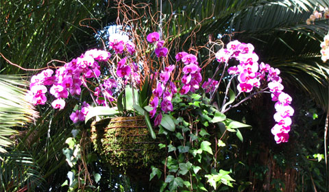 Basket of orchids, Phipps Conservatory