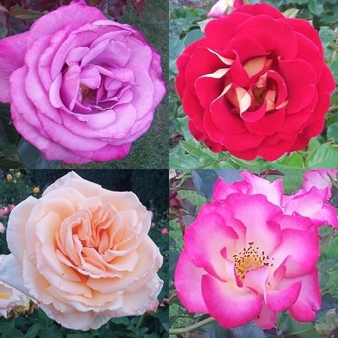 Portland-Rose-Gdn-Streisand-Rose-tile