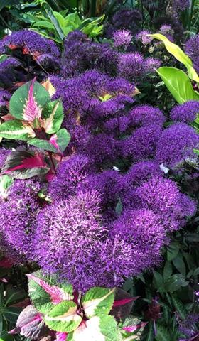 "Purple ""fluff"" - so beautiful!"