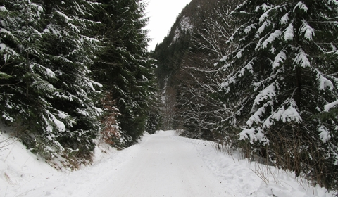 Snowy pine-lined forest road