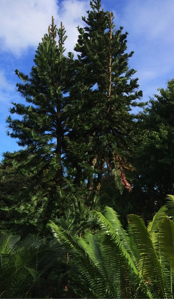 Wollemi Pine in Sydney Botanic Garden-001