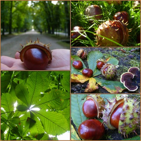 Chestnuts gathered in Central Park, a kindergartner's dream!