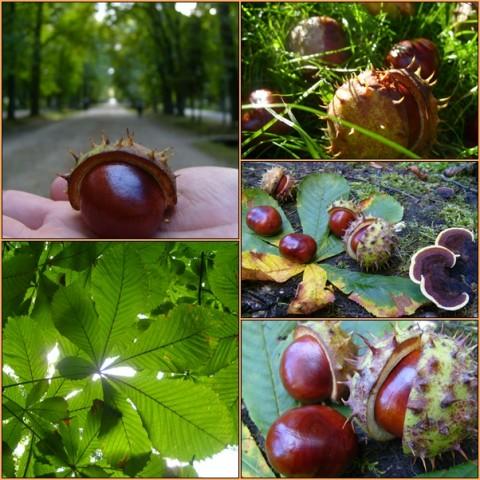 Chestnuts gathered in Central Park, a kindergartner's dream!