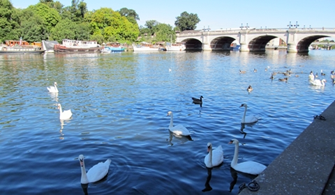 Not even half of the swans present on the Thames that morning
